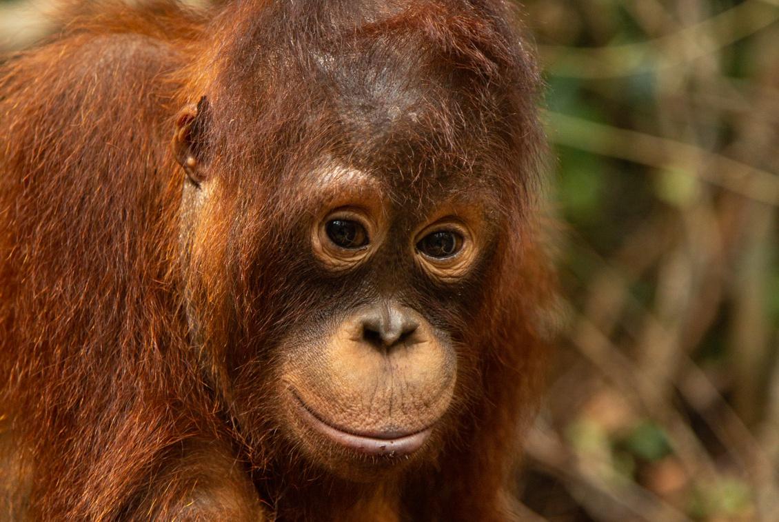 Borneo Orangutan Survival Australia